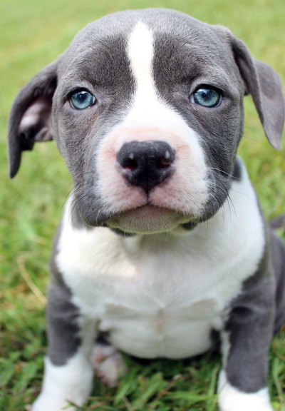 Blue Nose Pitbull Puppies For Sale Blue Nose Pitbull