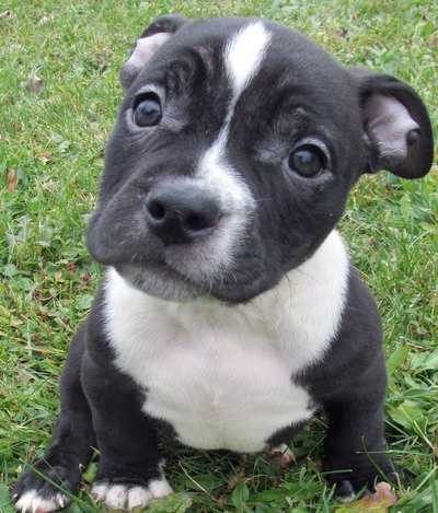 black and white bully pitbull puppy