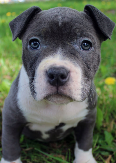blue and white pitbull puppy