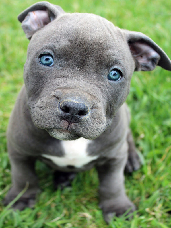 Blue Pitbull Puppies For Sale Blue Nose Pitbull Breeders