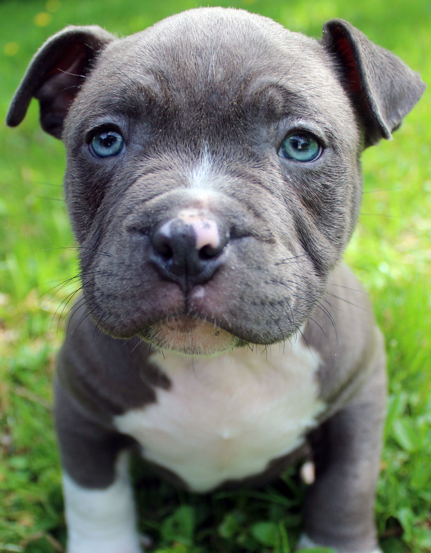 Blue Nose Pitbull Puppies For